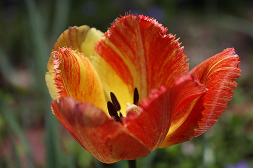 Closeup of Yellow and Orange Tulip