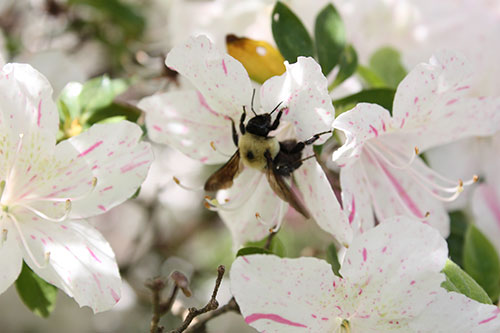 White azalea and bee