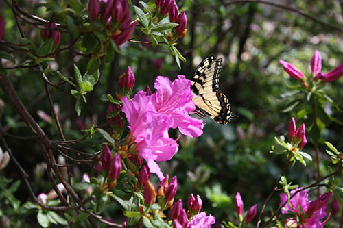 Pink azaleas and butterfly
