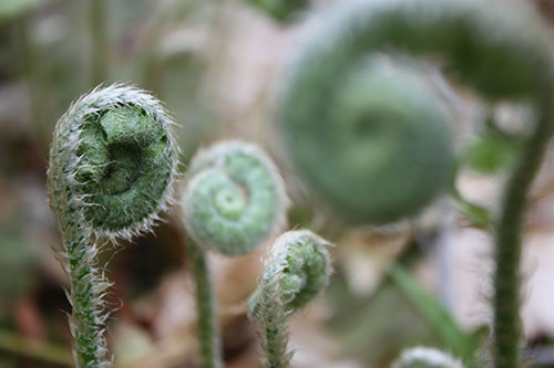 Several fern fiddleheads photo