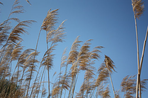 Beach Grass in Calvert Cliffs State Park in Maryland