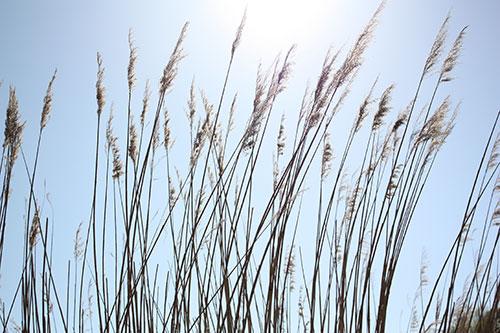 Beach Grass in Calvert Cliffs State Park in Maryland