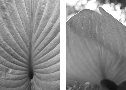 Black and white hasta leaf photos