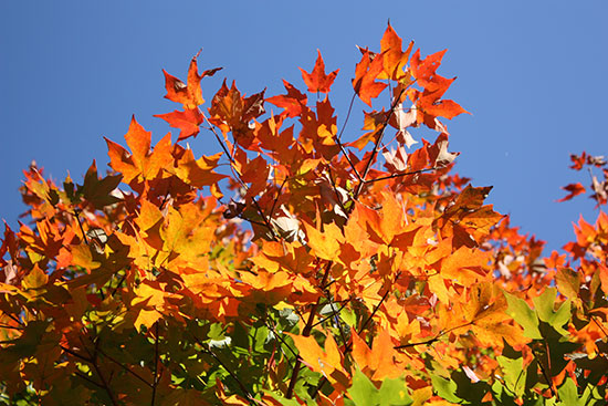 Autumn tree leaves changing colors