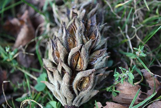 Magnolia tree seed pod