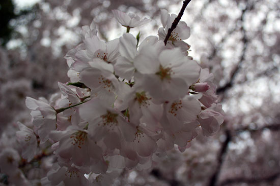 Cherry Blossom tree in Washington, DC