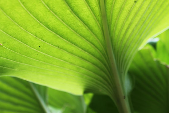 Large hosta leaf