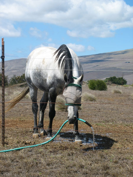 Horse Drinking Hose Water