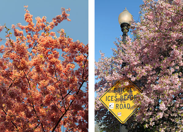 Cherry blossoms and sign about bridge icing