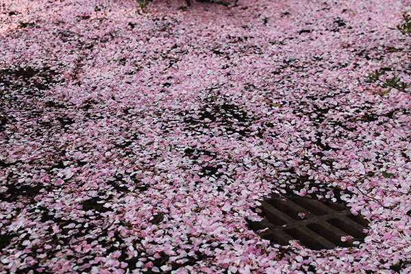 Cherry blossoms on ground and drain