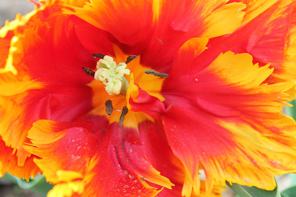 Parrot tulip, red and yellow