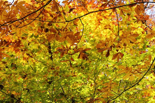 leaves on tree changing colors in autumn