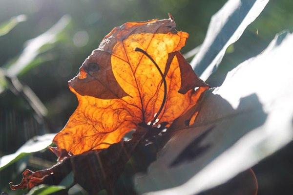 Sunlight through brown leaf