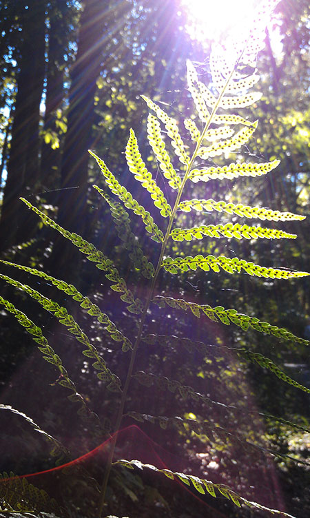 Fern with sunlight hitting it