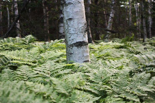 Ferns surrounding a tree in Acadia National Park