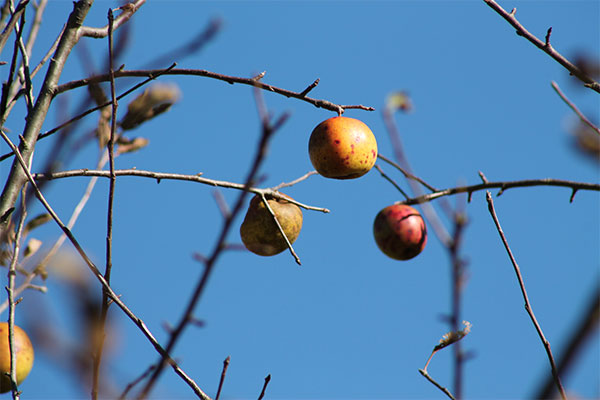 Few apples on nearly leafless tree