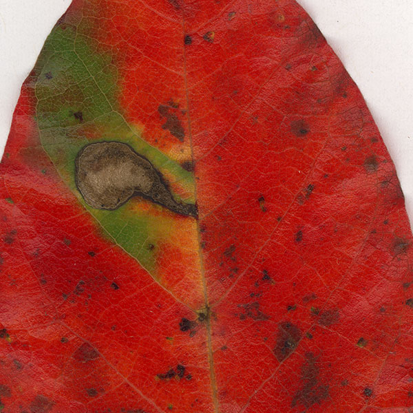 Leaf close-up: red and green