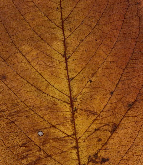 Leaf close-up: tan