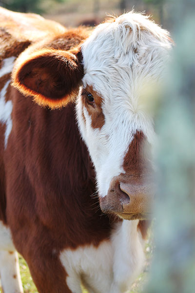 Moo back to you - photo of a cow