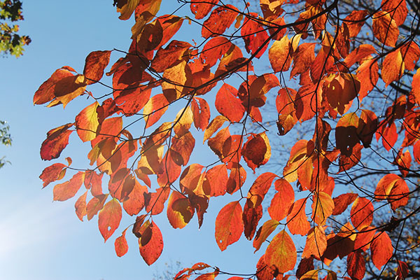 orange autumn leaves backlit with sunlight
