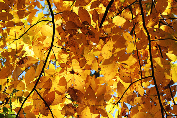 crowd of yellow autumn leaves backlit with sunlight