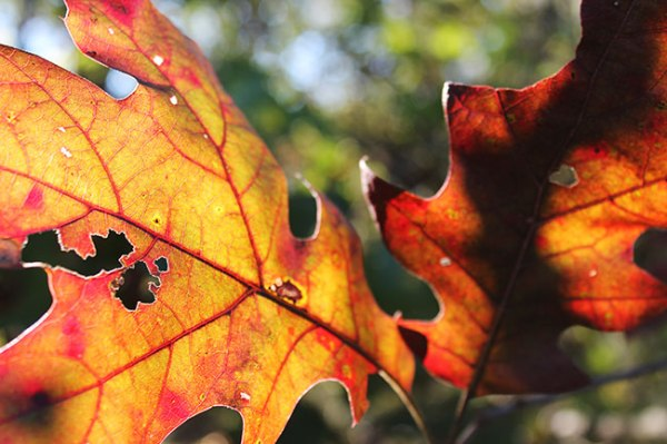 autumn leaves backlit with sunlight